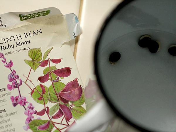 HyacinthBean1