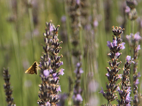 Lavender18