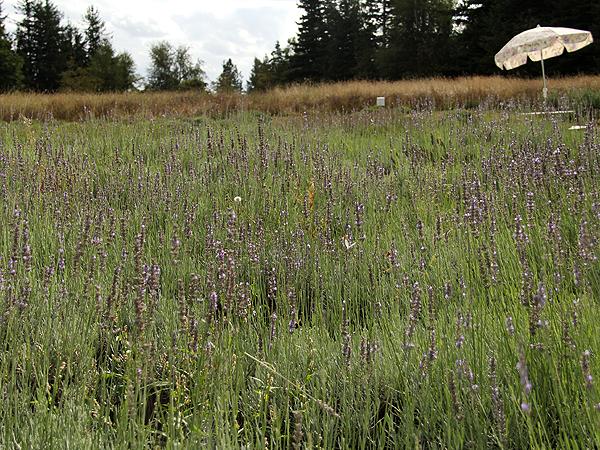 Lavender21