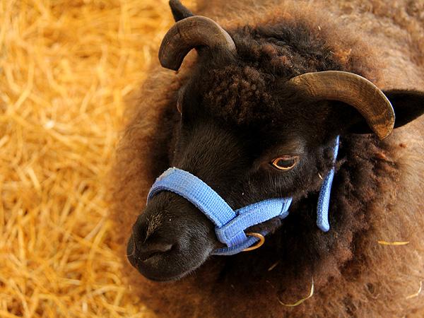 SheepShow2