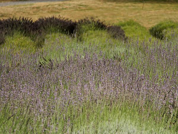 Lavender15