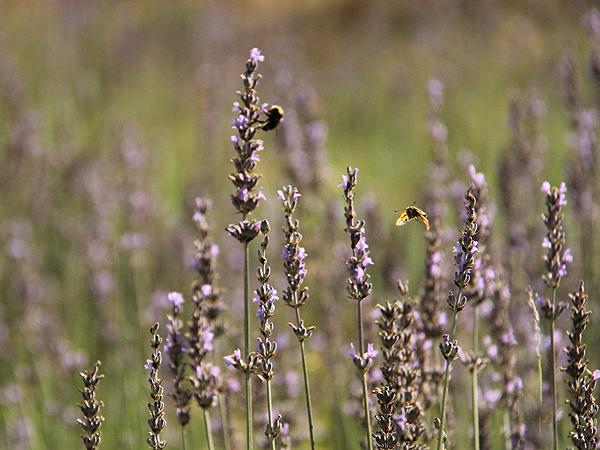 Lavender16