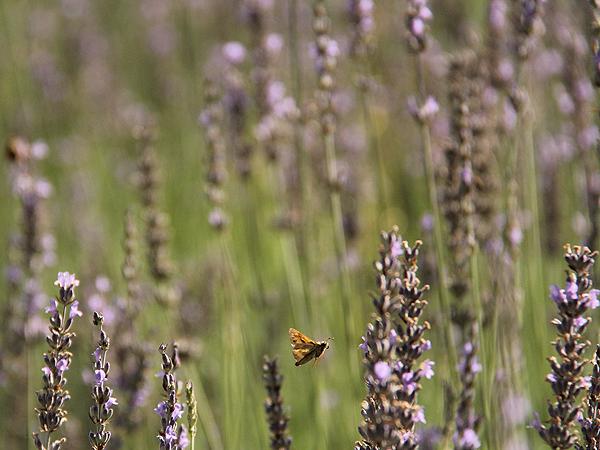 Lavender17