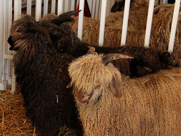 SheepShow3
