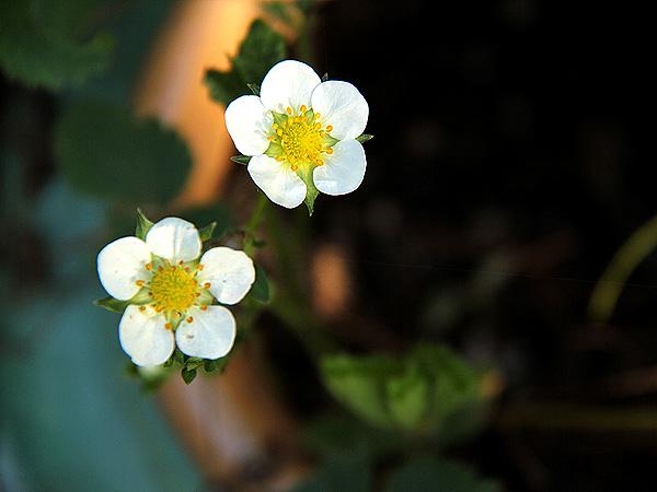 8Strawberry2