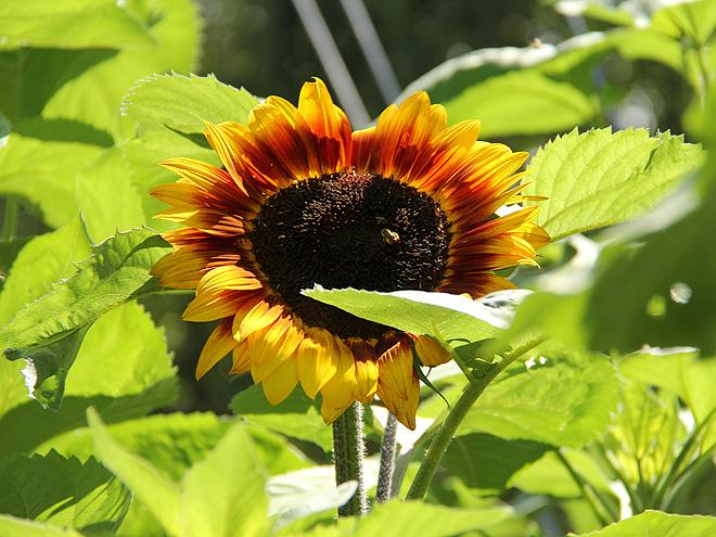 27Sunflower1