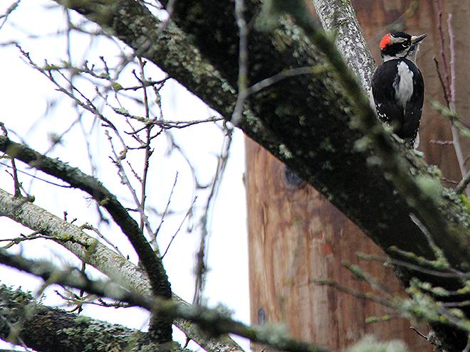 27Woodpecker2