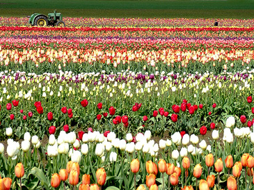 tulips16.jpg