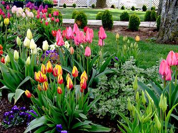 Tulips1_4