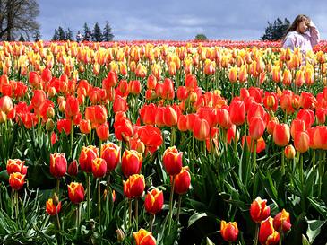 Tulips3_2