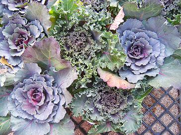 Cabbage1